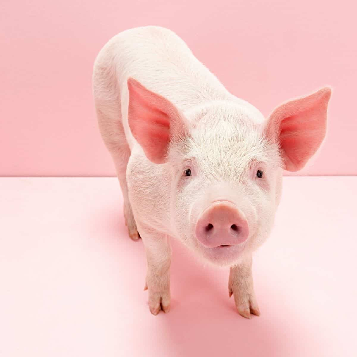 gifts for pig lovers