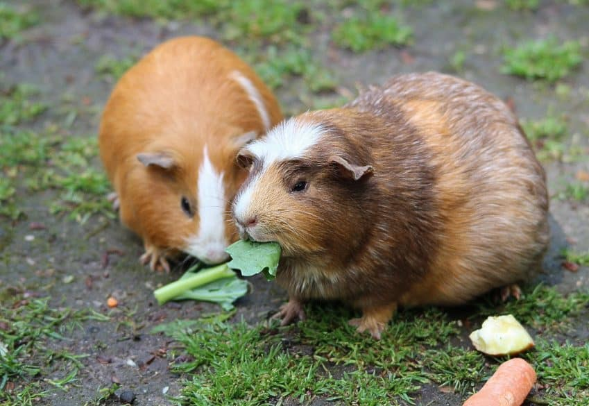 guinea pigs pets for children